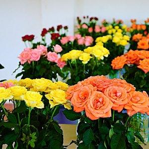 Sweetheart or Petite Roses