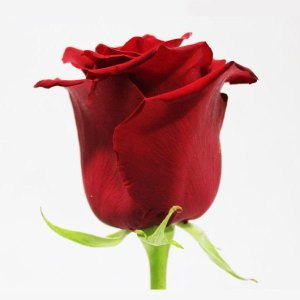 explorer red roses