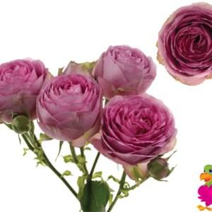 Clustar Roses