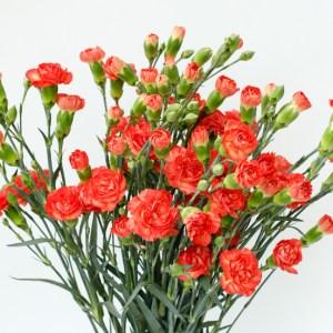 Spray Carnation