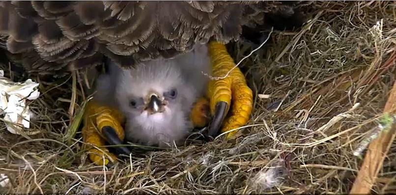 bald eagle laws that