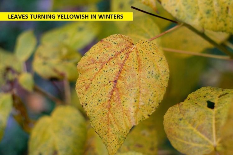 yellowish leafes