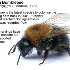 Bumble Bee Diagram Johnson 115 V4 Wiring Bumblebees Also Featured Are Three Cuckoo Bees Formerly Psithyrus Sp Which Cleptoparasites Of Two Our Most Familiar Bumblebee Species