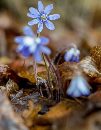 Blåsippor i vårregn