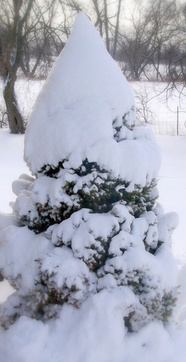 spruce tree with lots of snow on it after storm