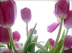 pink and white tulips with green stems
