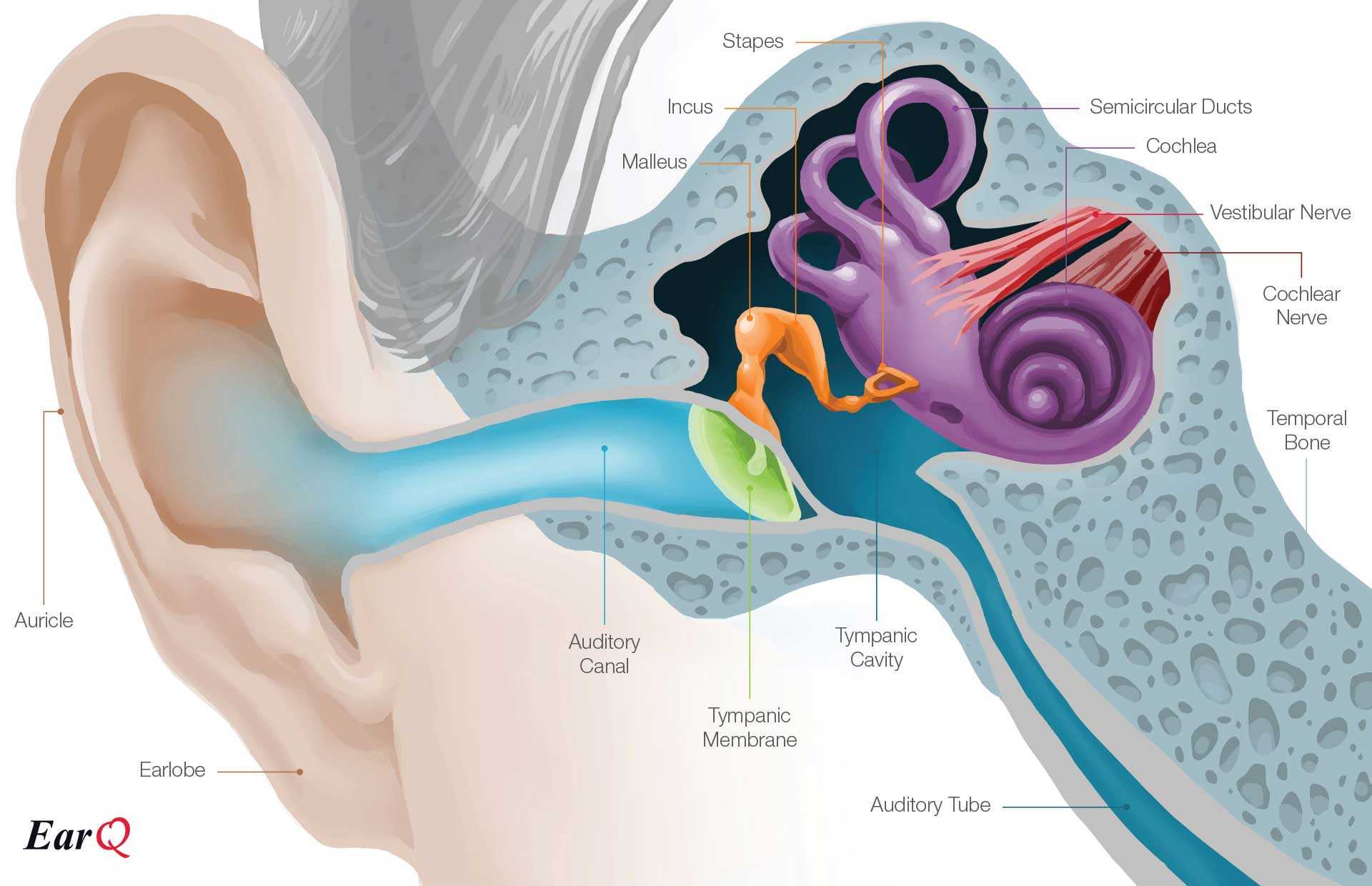hight resolution of anatomy of the ear