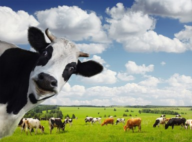 Smiling cow, smaller