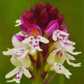 ワイルドオーキッドエッセンス-Wild Orchid Essence
