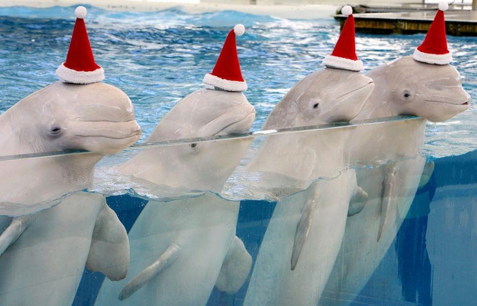Beluga Santa