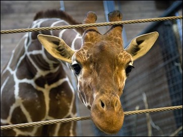 marius-giraffe-021114