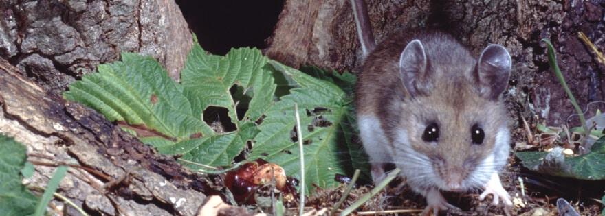 Hantavirus: A Potentially Fatal Disease Spread by Mice | Earthkind