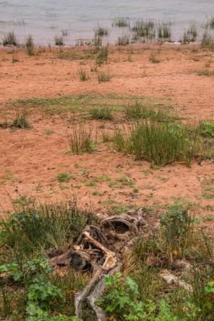 Dead kangaroo at Copi Hollow, NSW