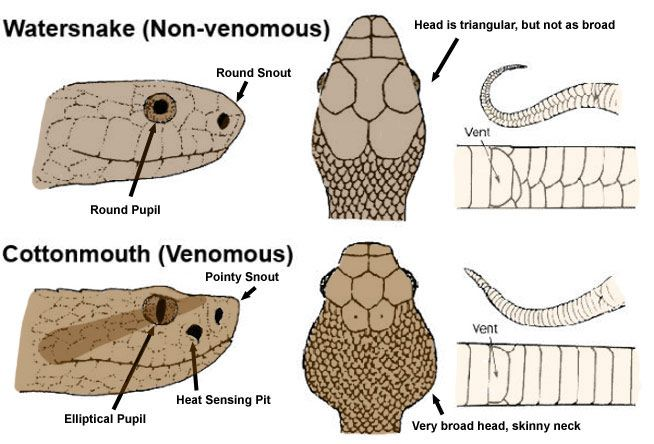 eye anatomy vintage diagram 3 phase wiring diagrams motors how to tell poisonous snakes from non-poisonous ones | earthly mission