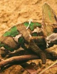 Veiled chameleon on ground also don   believe everything you ve heard rh earthsfriends