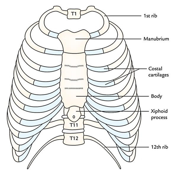 diagram of rib cage and muscles grow room designs with pictures easy notes on thoracic formation shape