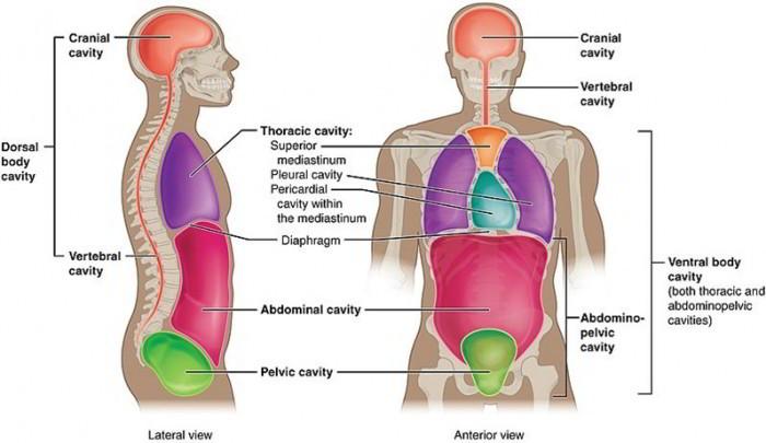 fetal pig spinal cord diagram mazda b2000 wiring major body cavities, their subdivisions and membranes.