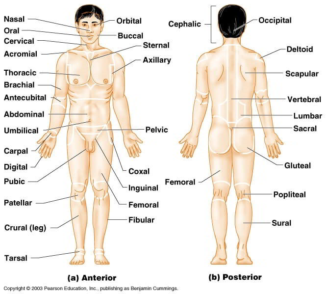 the human skeleton diagram fill in blanks water softener operation 【directional terms】 for anatomical position and major body regions