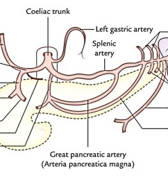 it s a short wide vessel 1 25 cm long which originates from the front of the abdominal aorta immediately below the aortic opening of the diaphragm at  [ 1405 x 600 Pixel ]