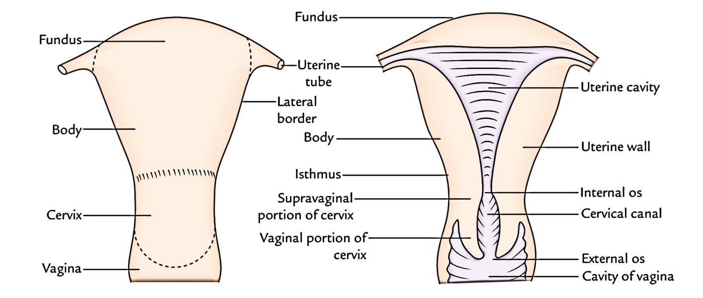 hight resolution of uterus