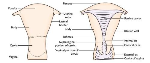 small resolution of uterus
