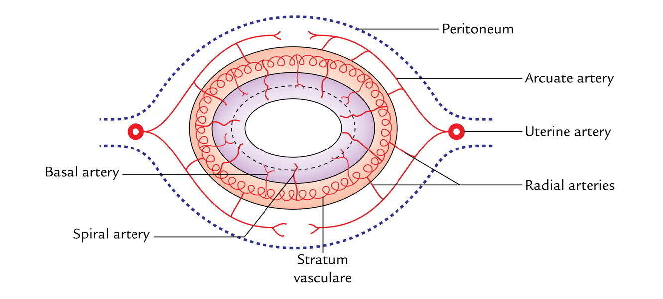 hight resolution of the arcuate coronary arteries branches of the uterine arteries of 2 sides anastomose on the anterior and posterior surfaces of the body of the uterus in