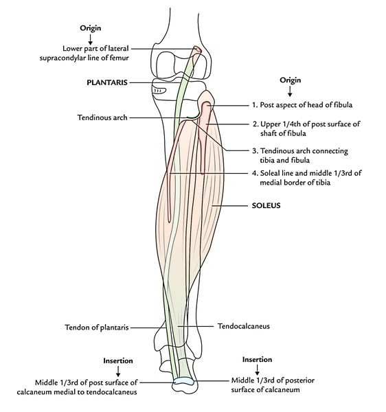 lower leg nerve diagram automotive charging system wiring easy notes on 【muscles of the posterior compartment leg】