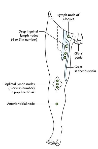 groin diagram female