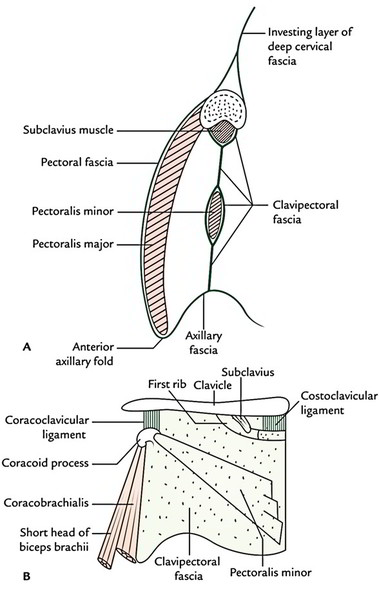 diagram of the clavicle