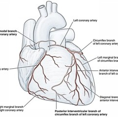 Coronary Arteries Diagram Branches Wiring Color Codes Arterial Supply Of The Heart – Right And Left Artery