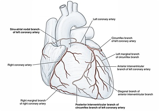 coronary arteries diagram branches ground fault breaker wiring arterial supply of the heart – right and left artery