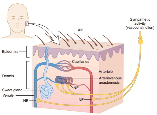 human vascular anatomy diagram early bronco wiring fuel injection technical library thermoregulation -temperature regulation in skin – hypothermia and hyperthermia