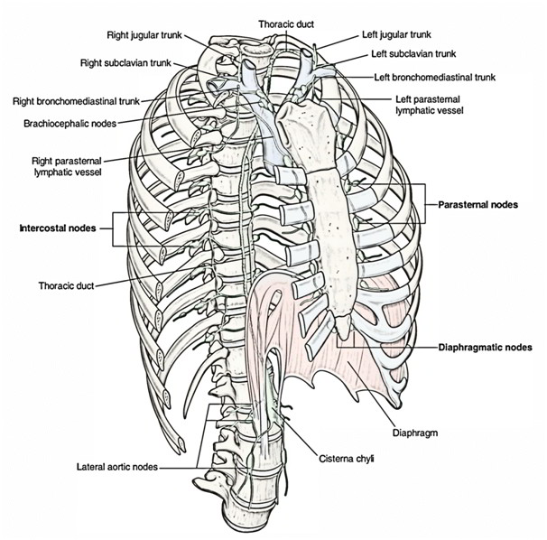 Easy Notes On 【Lymphatic Drainage of Lungs】Learn in Just 3