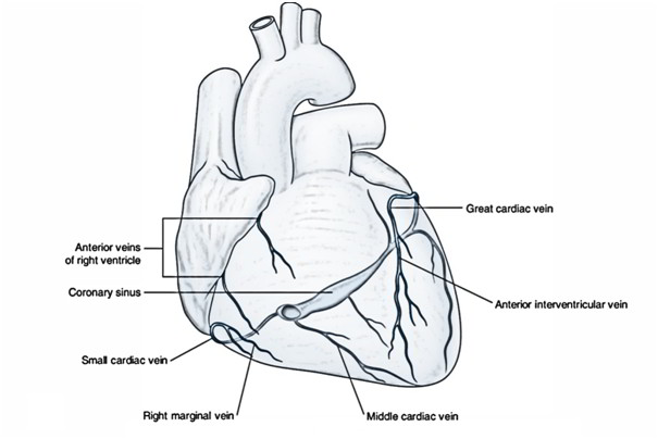 Easy Notes On 【Venous Drainage of the Heart】Learn in Just