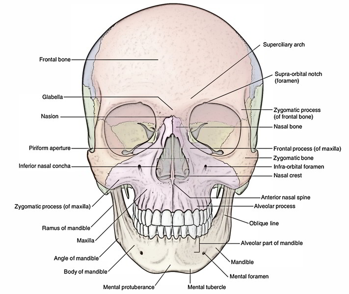 human skull diagram superior activity on arrow example easy notes 【skull】learn in just 4 minutes!