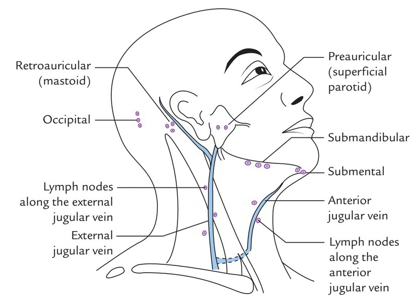 Easy Notes On 【Superficial Lymph Nodes and Lymph Vessels】