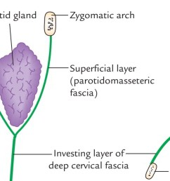 the superficial layer is powerful and covers the superficial surface of the parotid gland as parotidomasseteric fascia to get connected to the lower border  [ 1487 x 595 Pixel ]