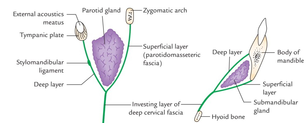 medium resolution of the superficial layer is powerful and covers the superficial surface of the parotid gland as parotidomasseteric fascia to get connected to the lower border
