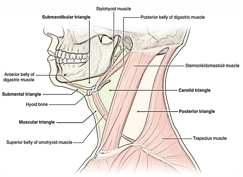posterior cervical lymph nodes diagram ecm wiring easy notes on 【anterior triangle of the neck】learn in just 3 minutes!