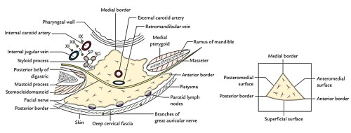 small resolution of the gland resembles a 3 sided pyramid with apex pointed downwards it presents these features