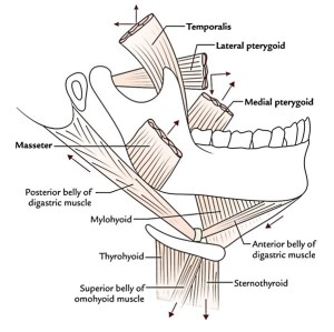 Easy Notes On 【Muscles of Mastication】Learn in Just 4