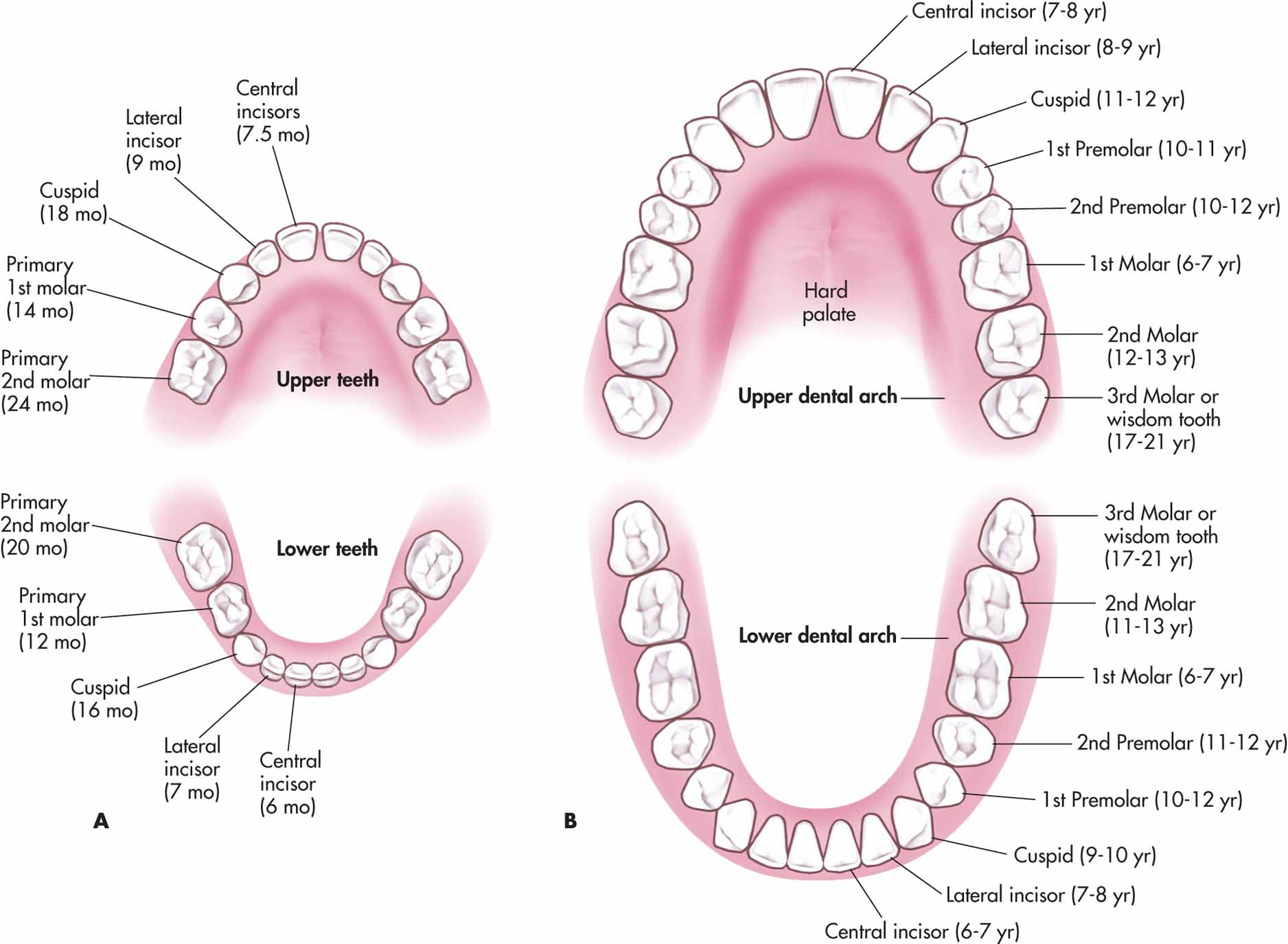 Deciduous And Permanent Teeth And Structure Of A Tooth