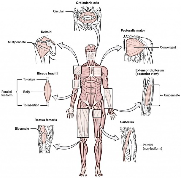 Hand Diagram Ligaments Actions Of Skeletal Muscles Origin Insertion And Muscle