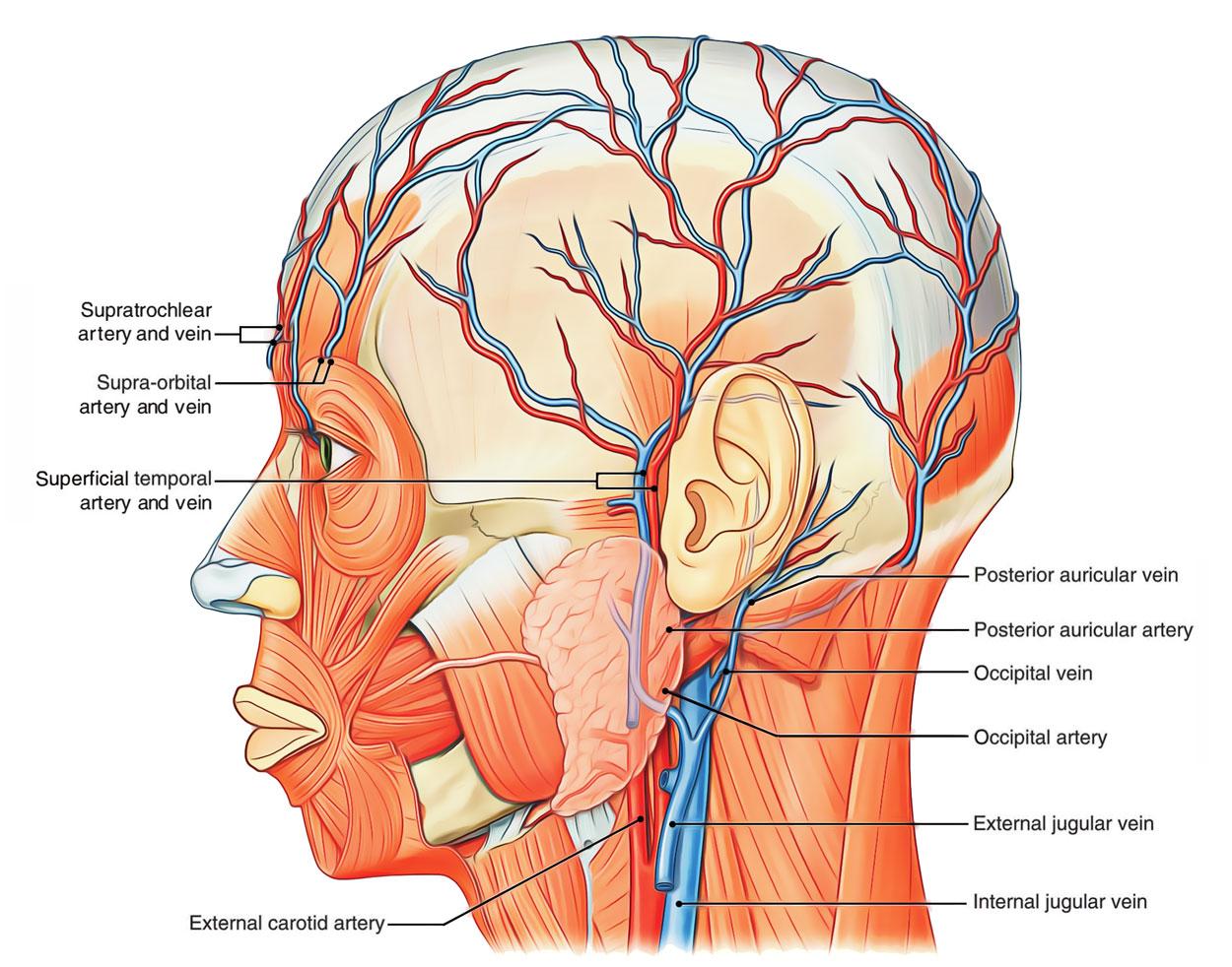 hight resolution of arterial supply of scalp