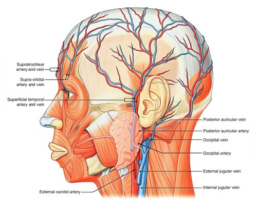 small resolution of arterial supply of scalp