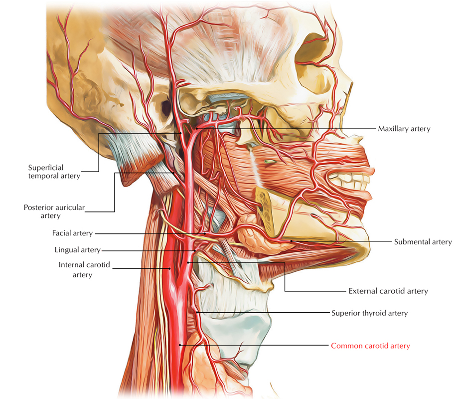 ? From what artery does the right common carotid artery arise. Arch of the Aorta. 2019-02-14