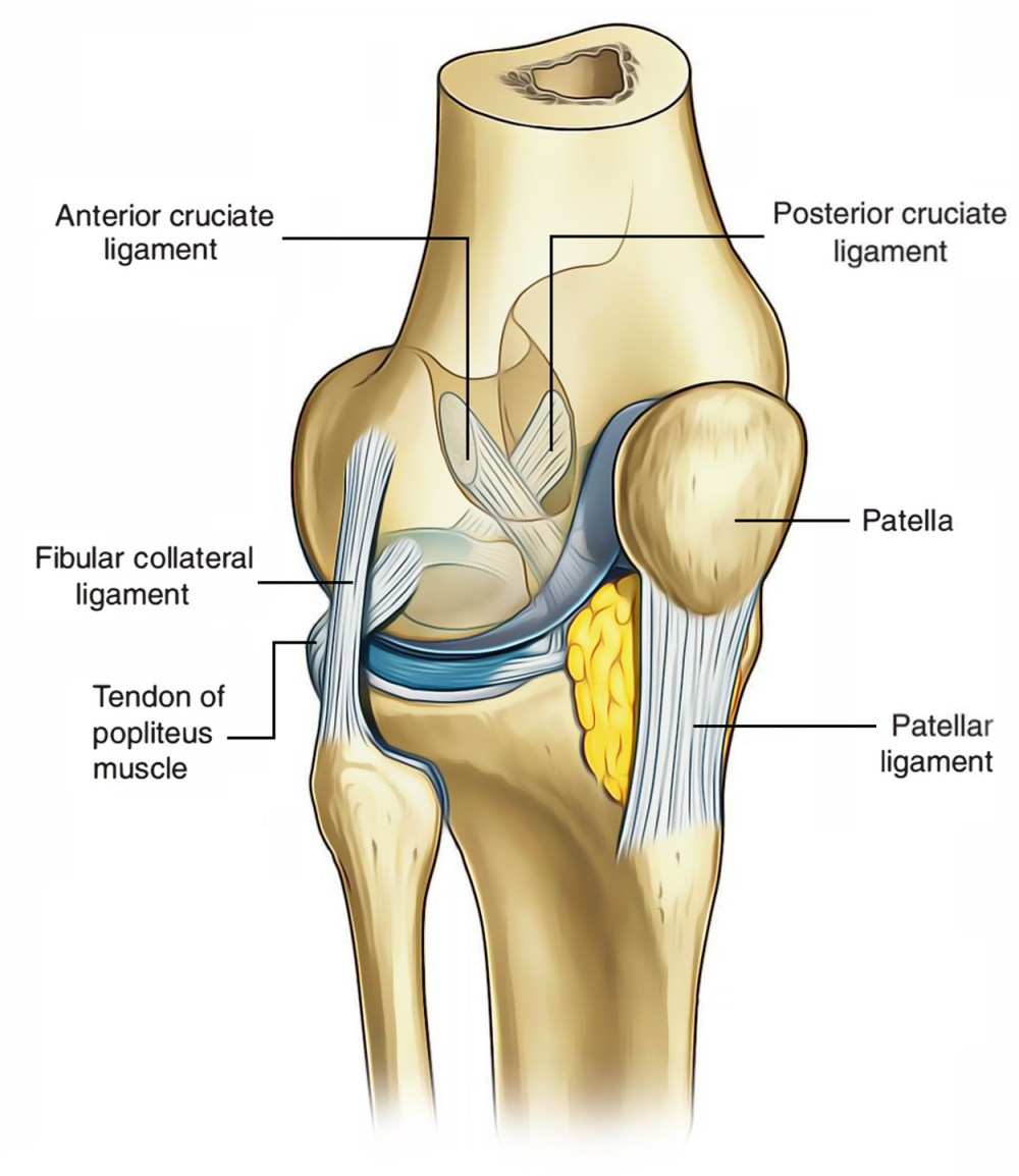 medium resolution of ligaments of knee joint cruciate ligament