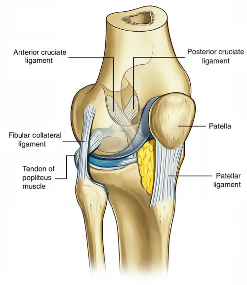 small resolution of ligaments of knee joint cruciate ligament