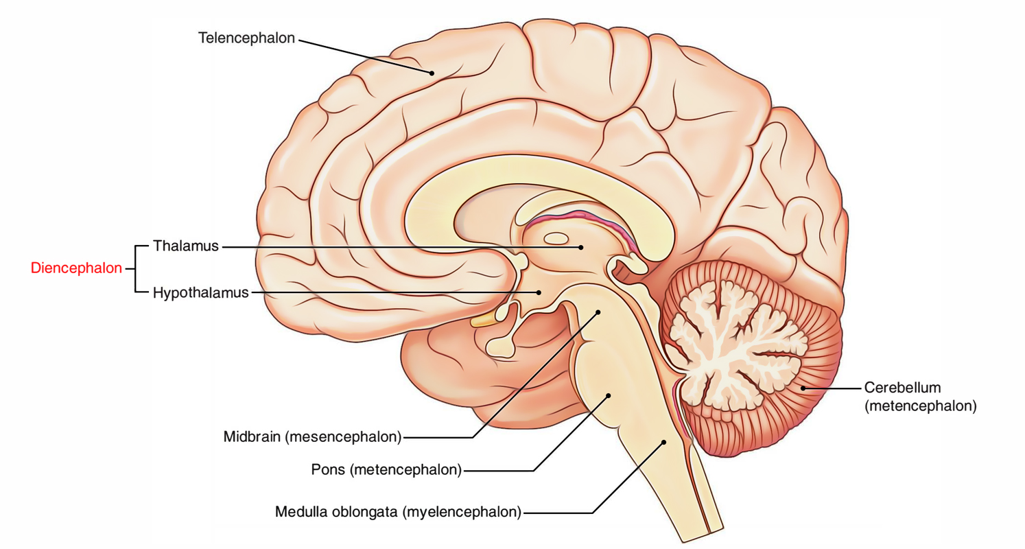brain diagram thalamus redcat atv parts easy notes on 【diencephalon】learn in just 4 minutes!