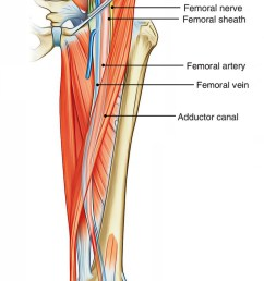 femoral triangle contents [ 1250 x 2399 Pixel ]